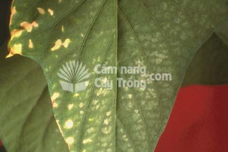 Triệu chứng thiếu Mo trên lá cây khoai