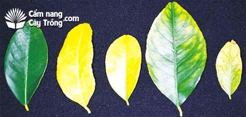 Các triệu chứng thiếu hụt nitơ trên cây chanh