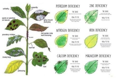 Triệu chứng thiếu dinh dưỡng trên cây trồng