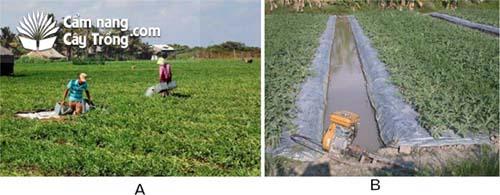 (A) Không màng phủ nông nghiệp, (B) Có màng phủ nông nghiệp.