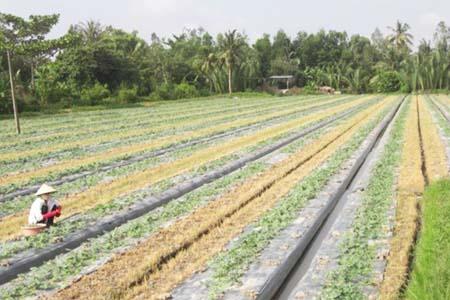 Trồng dưa hấu trên đất ruộng lúa