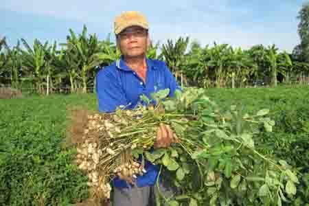 Thoát nghèo nhờ trồng đậu phộng trên cát