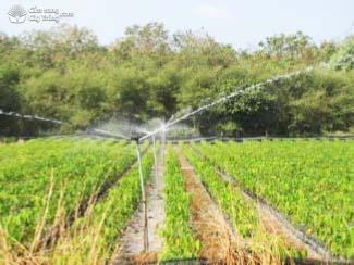 Hình 5: Tưới nước cây cao su con.