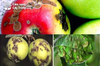 bệnh ghẻ trên cây táo