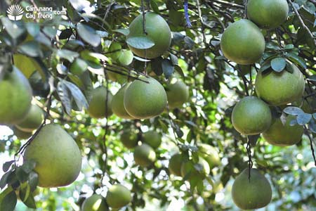 Một vườn bưởi trĩu quả ở Đồng Nai