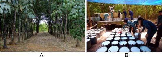 Hình 4: (A) Vườn cao su đạt tiêu chuẩn; (B) Khai thác mủ cao su.