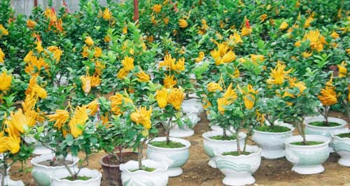 Cây Phật thủ trồng trong chậu
