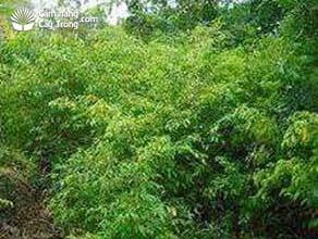 Vườn cây mai chiếu thủy nguyên liệu