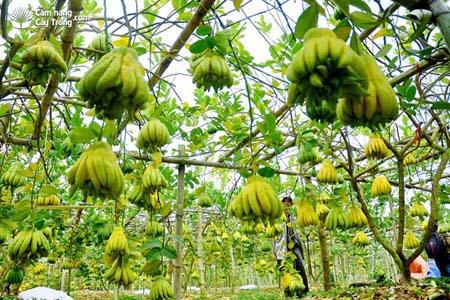 Một vườn Phật thủ xanh mướt, sai trĩu quả ở xã Đắc Sở, huyện Hoài Đức, Hà Nội