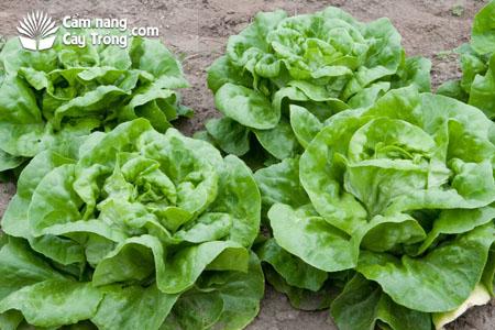 Xà lách mỡ (Butterhead Lettuce)