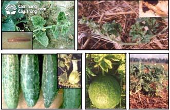 Triệu chứng khảm (virus) trên thân lá và trái dưa hấu, dưa leo