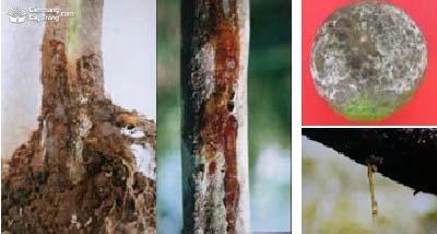 Bệnh thối cổ rễ, nứt gốc, thối thân, thối rễ, xì mủ, chảy mủ, thối trái Phytophthora sp.