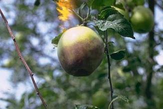 Bệnh thối trái táo