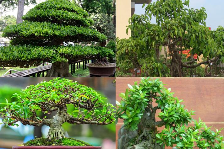 Các loại cây bonsai
