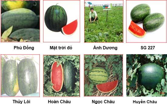Các giống dưa hấu phổ biến.