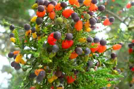 Cẩm nang cây trồng, chuyện lạ: cây có 40 loại quả