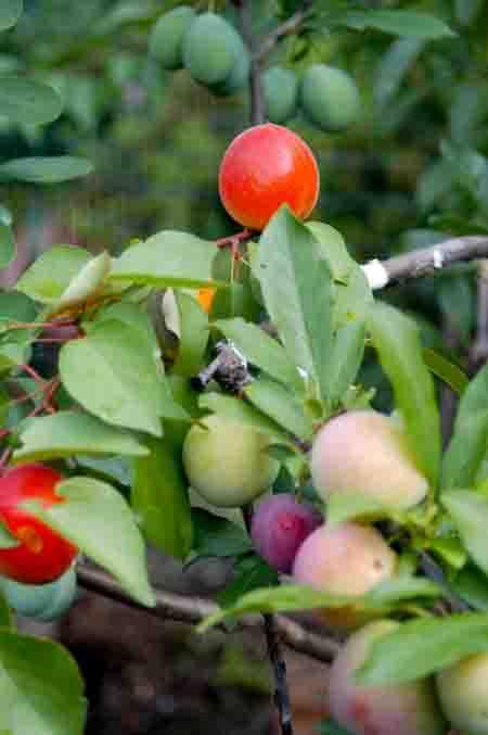 Cẩm nang cây trồng, chuyện lạ: cây có 40 loại quả 2