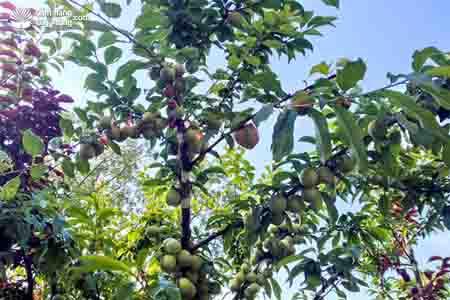 Cẩm nang cây trồng, chuyện lạ: cây có 40 loại quả 3