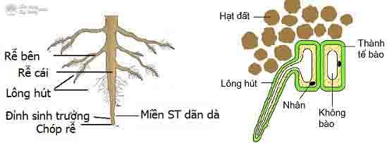 Cấu tạo rễ cây - cơ chế hút nước và dinh dưỡng ở thực vật