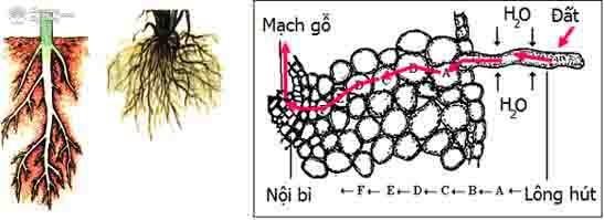 cơ chế hút nước và dinh dưỡng ở thực vật