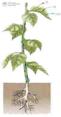 cơ chế hút nước và dinh dưỡng ở thực vật - cơ chế chủ động và thụ động