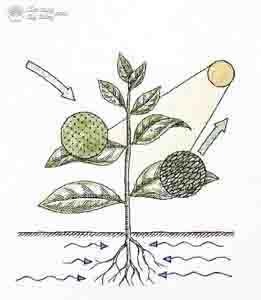 Cơ chế hút dinh dưỡng qua đường lá