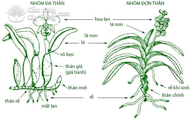 Đặc điểm thực vật học cây lan