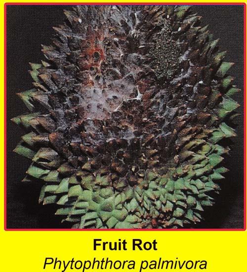 Triệu chứng cây sầu riêng bị nấm Phytophthora Palmivora tấn công quả