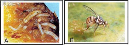 ruồi đục trái Bactrocera dorsalis