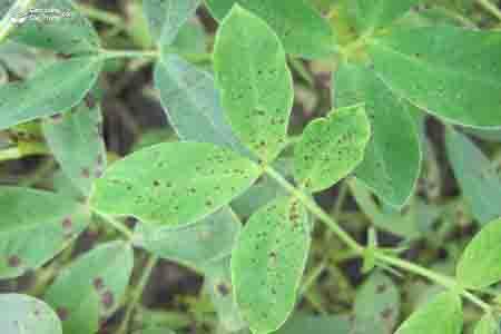 Triệu chứng bệnh đốm lá đen Cercospora personata trên cây lạc (đậu phộng)
