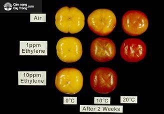 Ethylene làm chín quả
