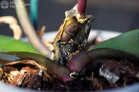 Cây lan con bị bệnh đen thân cây con do nấm Fusarium oxysporum
