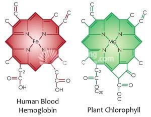 Canxi trong diệp lục (phải) được ví như Sắt trong máu (trái)