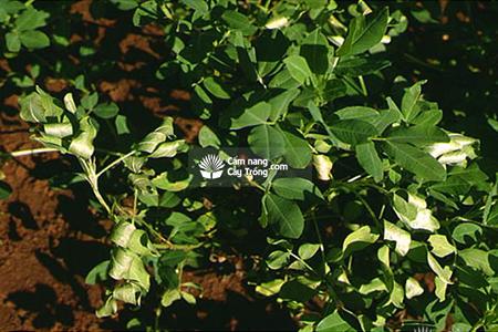 bệnh héo xanh Pseudomonas solanacearum trên cây lạc và biện pháp phòng trị