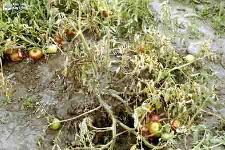 Bệnh héo rũ chết vàng Fusarium trên cây cà chua và biện pháp phòng trị