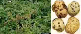 Bệnh lở cổ rễ héo cây con trên cây khoai tây và biện pháp phòng trị