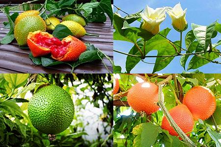 Kỹ thuật trồng và chăm sóc gấc