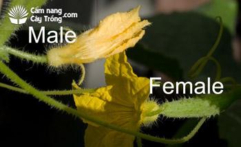 Hoa dưa leo đực và cái