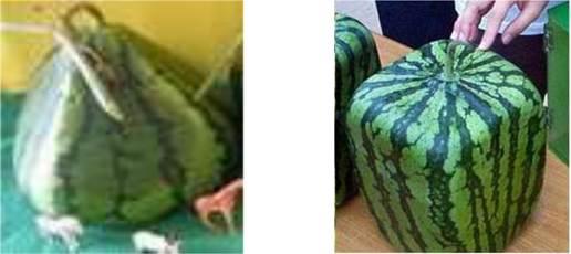Tạo nhiều hình dạng lạ mắt cho quả dưa hấu
