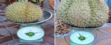 Quả sầu riêng nặng 1,2 và quả sầu riêng nặng 4,6 kg