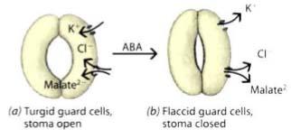 Acid Abscisic điều chỉnh sự đóng mở của khí khổng