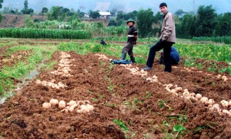 Ruộng khoai tây ở Yên Bái