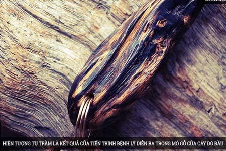 Hiện tượng tụ trầm là kết quả của tiến trình bệnh lý diễn ra trong mô gỗ của cây dó bầu