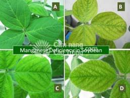 Biểu hiện thiếu Mangan trên cây đậu tương