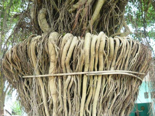 Bộ rễ của cây sanh
