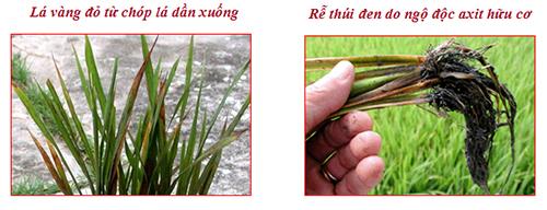 Khắc phục hiện tượng ngọ độc hữu cơ trên lúa