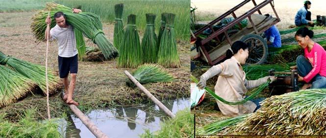 nông dân thu hoạch cói
