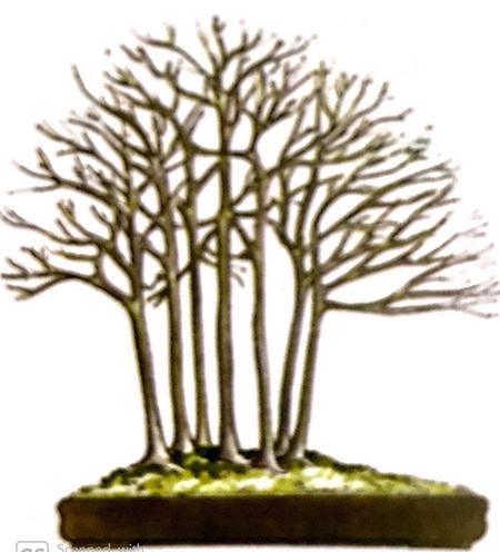 Phong cách, dáng thể cây mọc thành cụm nhóm hoặc tạo tiểu cảnh khu rừng