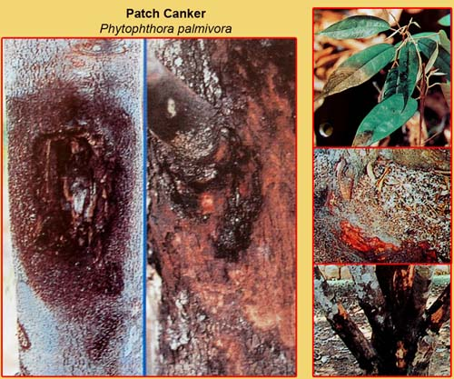 Triệu chứng cây sầu riêng bị nấm Phytophthora Palmivora tấn công