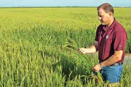 Cánh đồng lúa California - Giáo trình cây lương thực (cây lúa)